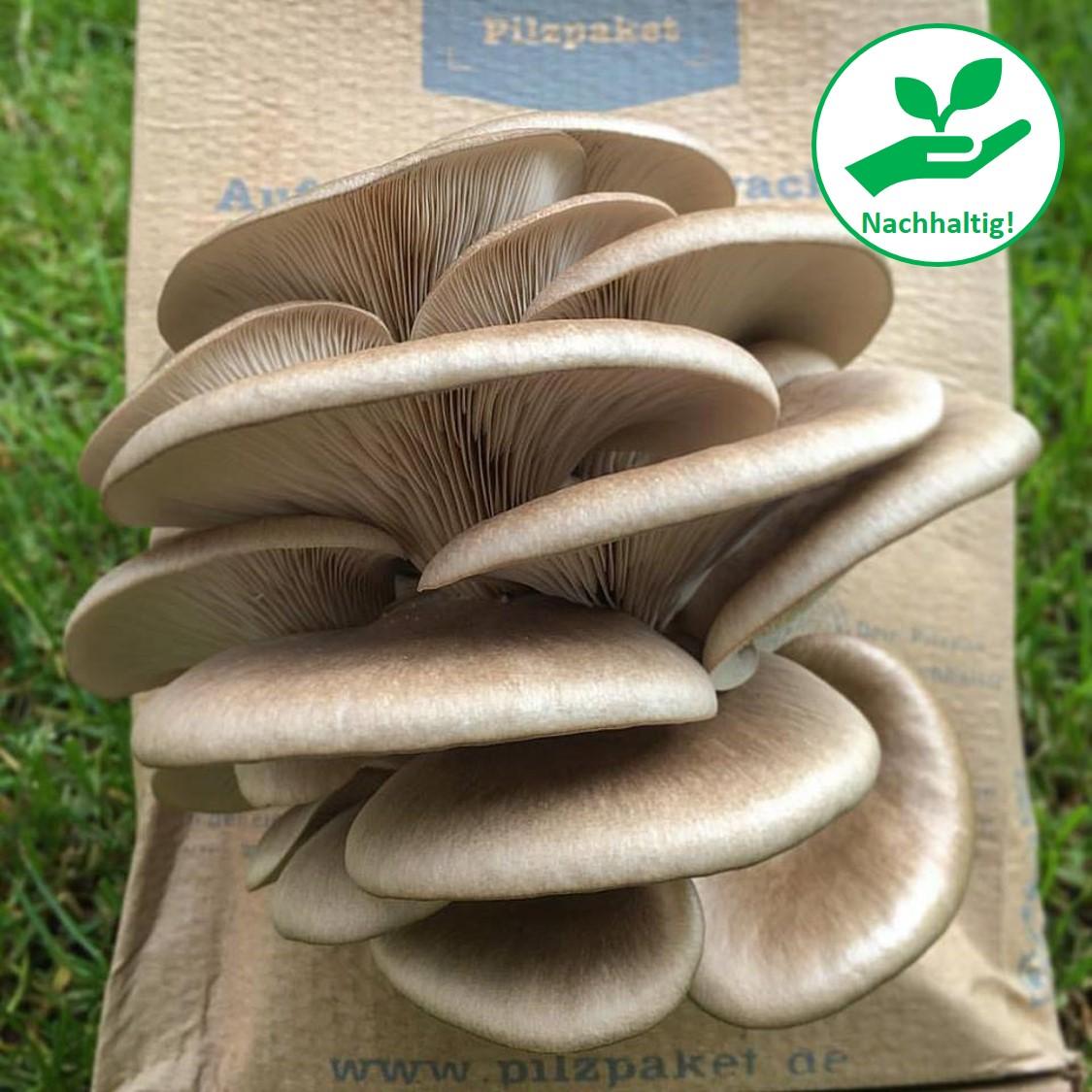 Florida Austern-Seitling aus Bayern! Pilze selbst züchten!