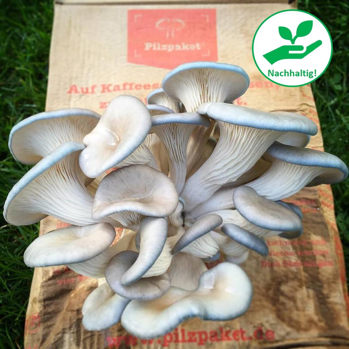 Taubenblauer Austern-Seitling! Nachhaltigkeit pur!