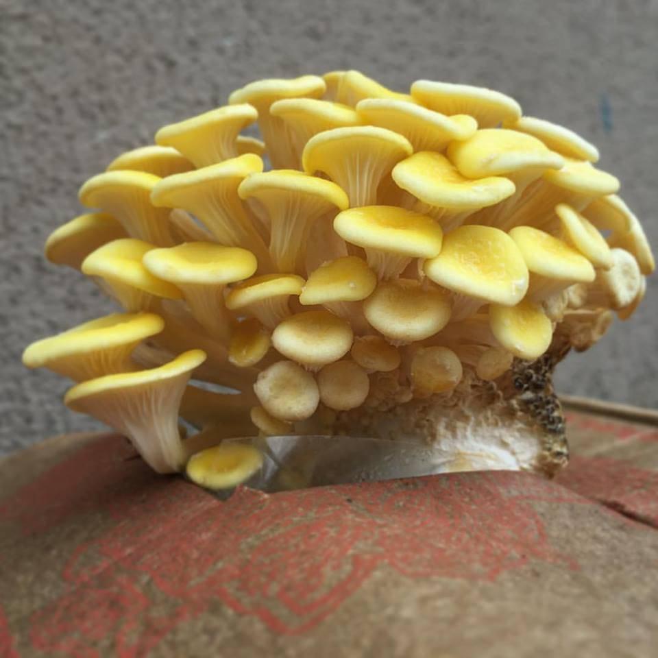 Zitronenseitling aus Bayern! Pilze Zuhause züchten!